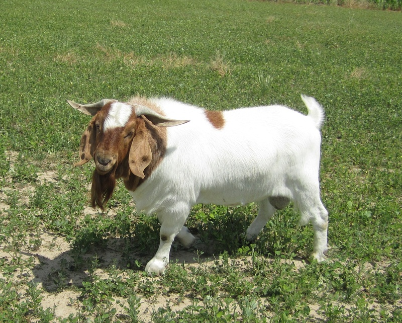 Boer Goats for sale in Ohio concentrates on breeding for